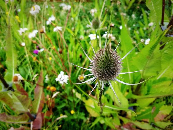 Nature Flower Plant Fragility Growth No People Green Color Close-up Outdoors Day Beauty In Nature Freshness Thistle Flower Head Landscape Nature Reserve Copley Sowerby Bridge Yorkshire Teasel Thistle Teasel Landscapes Sommergefühle Plants And Flowers Flowers