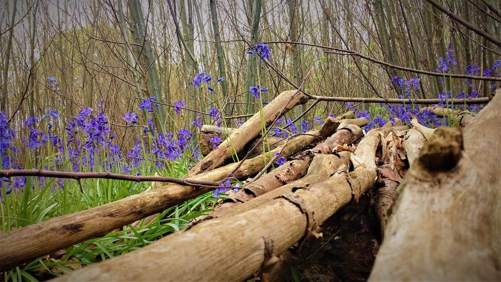 Bluebell Wood Bluebells Bluebells Field Bluebells In The Woods Bluebells Springtime Bluebells, Spring, Springtim Bluebells. Wild [plant. Nature. Blue England English Bluebells Logs Logs On Focus Logs Pile Spring Flowers Spring Has Arrived Spring2017 Springtime WoodLand Woodland Flowers Woodland Walk