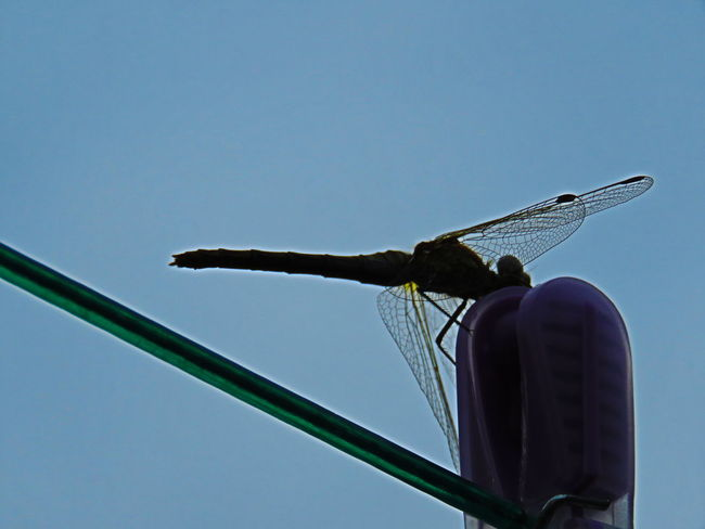 Insect Silhouette Clothes Peg Large Wings Patterned Wings No People Watching And Waiting Camera Ready Taking Photos Weston-super-mare Somerset England