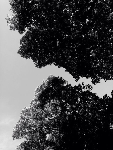 Trees Tree Crowns Low Angle View Black & White Black And White Blackandwhite B&w Look Up Looking Up Complements
