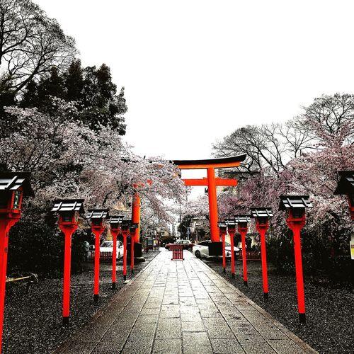 cherry blossoms@kyoto Sakura Cherry Blossoms Kyoto