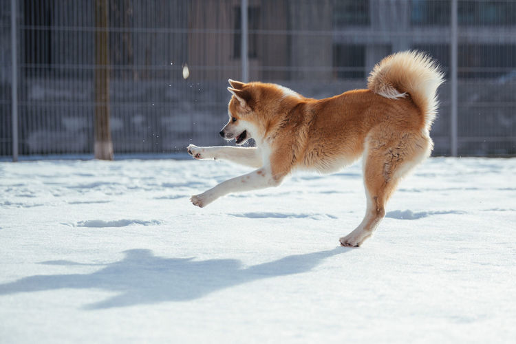 Side view of dog playing on snow