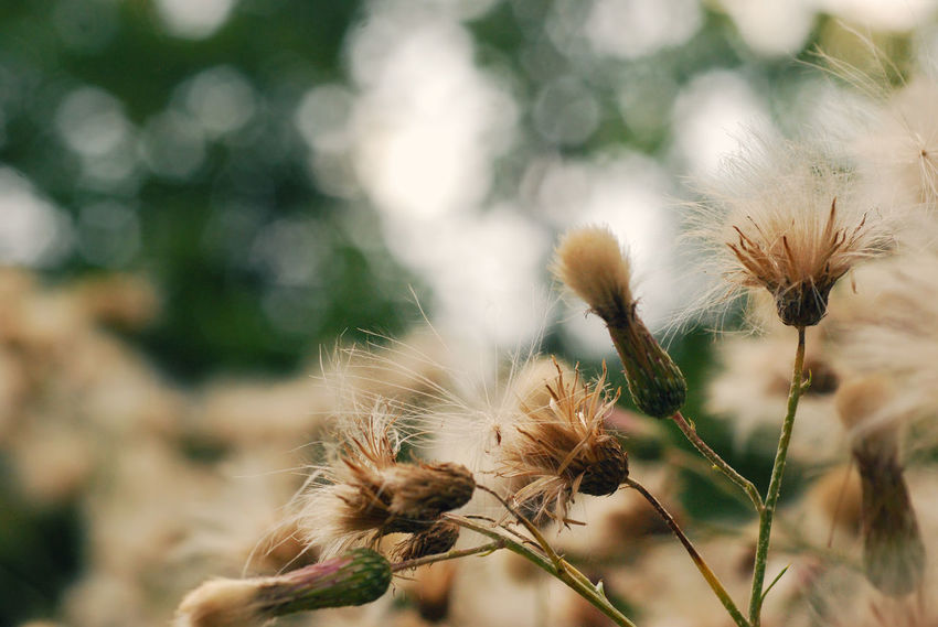 Dry soft fluffy thistle flower with bokeh in the background, abstract nature scene Abstract Artistic Background Blurred Bokeh Copy Space Creative Defocus Defocused Dry Flower Fluffy Green Inspiration Meadow Nature No People Nostalgic  Outdoors Plant Selective Focus Silybum Soft Summer Thistle