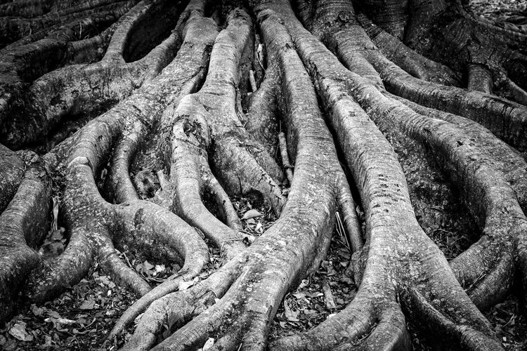 Tree Root Structure Wood Abstract Ancient Backgrounds Black And White Close-up Complex Day Full Frame Growth High Angle View History Land Nature No People Old Outdoors Pattern Plant Root Sculpture Strength Structure Tree Tree Roots