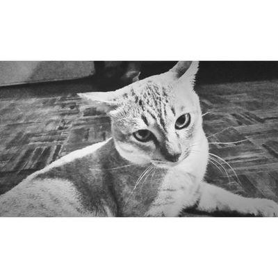 ไม่ให้เกาคาง ไม่ให้แตะตัว ไม่ยอมเล่นด้วย ไม่ค่อยสุงสิง หิวแล้วโผล่มา รักย่าคนเดียว ใครก็อย่ามายุ่ง ข้าคือ อิแมวววววว Cat Pet13 Molome