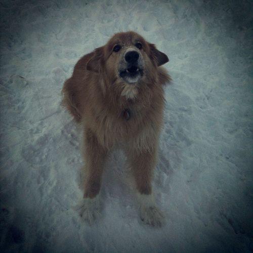 Cobee Woof Angry Bigdog dogsofinstagram