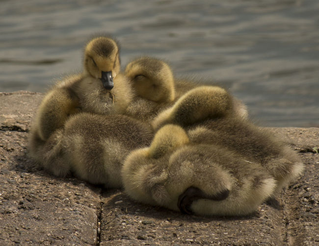 Close-Up Of Ducklings On Shore