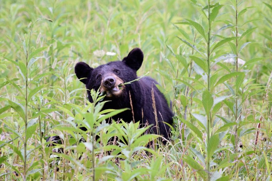 Bear Animal Wildlife Animal Nature Black Bear Grass Mammal Animals In The Wild Cades Cove, Tennessee Cades Cove Animals In The Wild Bear One Animal Cute No People Young Animal Animal Themes Outdoors Portrait Day Close-up
