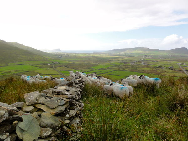Beauty In Nature Day Farming Geology Grass Hill Ireland Landscape Long View Moving Sheeps Nature Non-urban Scene Outdoors Rock Sheep Stone Stone Wall W Landscape With Whitewall