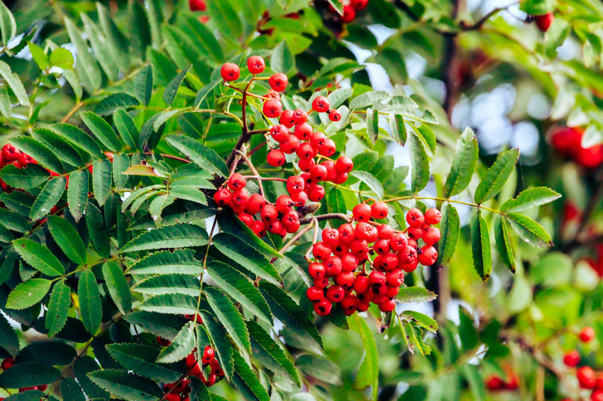 Beauty In Nature Berry Fruit Close-up Day Focus On Foreground Food Food And Drink Freshness Fruit Green Color Growth Healthy Eating Leaf Lychee Nature No People Outdoors Plant Plant Part Red Ripe Rowanberry Tree