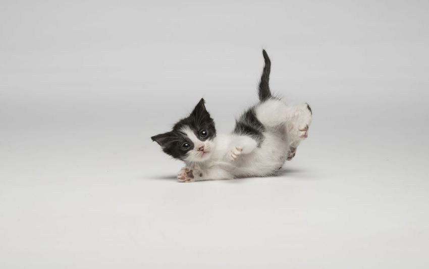 Animal Themes Day Domestic Animals Domestic Cat Feline Looking At Camera Mammal No People Pets Playful Cat Portrait Studio Shot White Background