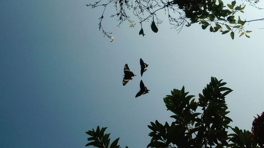 Three Common Mormon butterflies in my garden.. To watch them fly.. click https://youtu.be/KOyUaH8Uh8o Tree Nature Sky Silhouette Sunset Bird Beauty In Nature No People Outdoors Day Beautifully Organized Butterfly - Insect Butterflies 3 Butterflies Butterflies In Sky Butterflies Flying Live For The Story