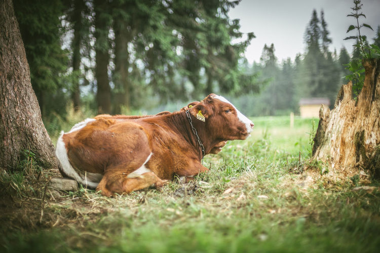 Cow in a forest