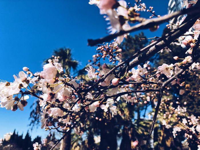 4 sakura Sakura Flower Sakura Blossom Sakura Tree Flower Blossom Branch Fragility Low Angle View Beauty In Nature Springtime Clear Sky Nature Flower Head