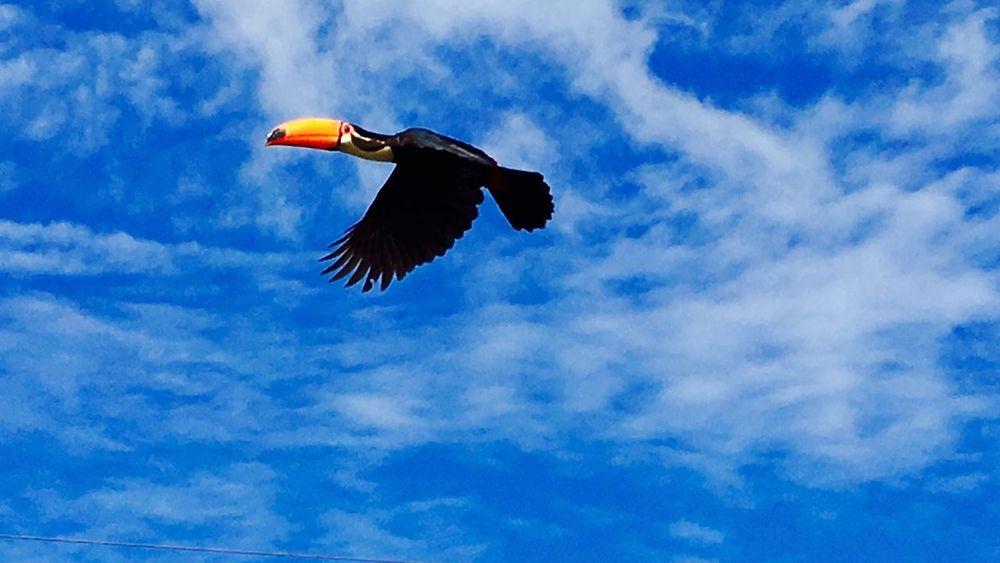 Tucano Picofeo Tucanos Ave Brasil Brazil Passaro Natureza Bonito