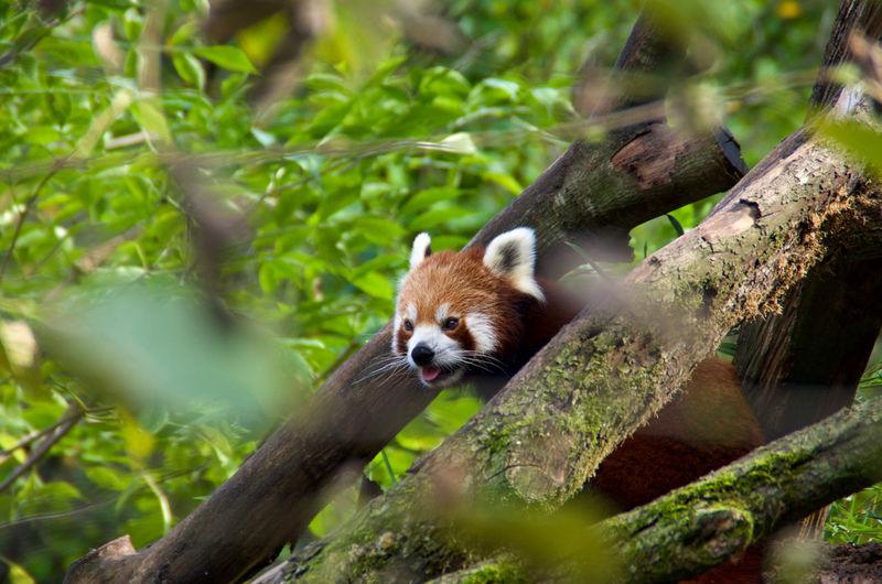 Panda Animal