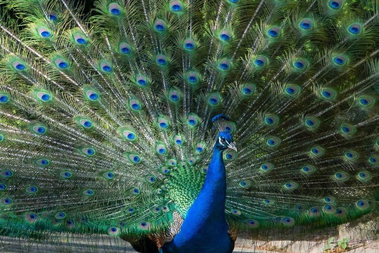 peacock Sony