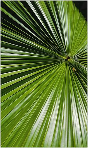 Tropical Plants Green Leaves Natural Beauty Green No Filter, No Edit, Just Photography Vibrant Color Nature Natural Symmetry Nature Photography Frond Tropical Plant