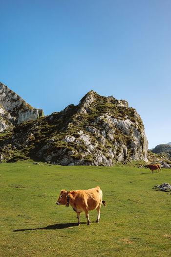 Cow walking through the grass in the mountains on a sunny day Lake Paradise Vegetation Green Landscape Sky Scenery Mountain Lakeside Ecology Natural Grassland Field Valley Covadonga Asturias SPAIN Picos De Europa Enol Lake Ercina Lake Beautiful Cow Animal Mammal Vertical