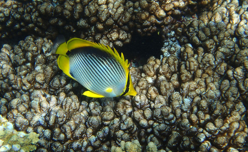 Queensland Australia Lady Elliot Island Great Barrier Reef Underwater Animal Wildlife Sea UnderSea Animal Themes One Animal Marine Fish No People Swimming Coral Nature Beauty In Nature Sea Life Black Backed Butterflyfish Butterflyfish Yellow