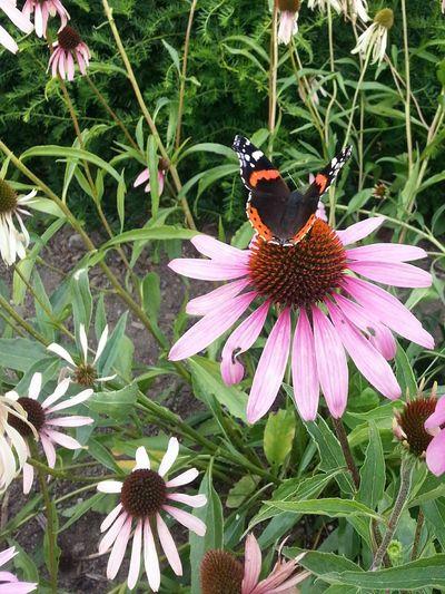 "Procrastinating Butterfly Echinacea Purpurea ""Magnus"" Blooming Flowers"