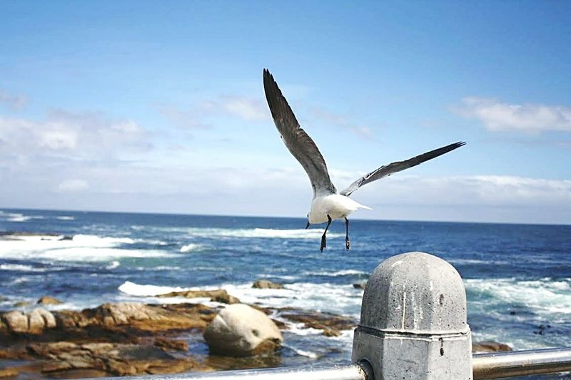 Sea Bird Animal Wildlife Animals In The Wild Beach Water Nature Outdoors Sea Bird Day Horizon Over Water Seagull No People Sky Spread Wings Animal Themes Beauty In Nature EyeEmNewHere South Africa 🇿🇦 Capetown Lost In The Landscape Beauty In Nature Nature