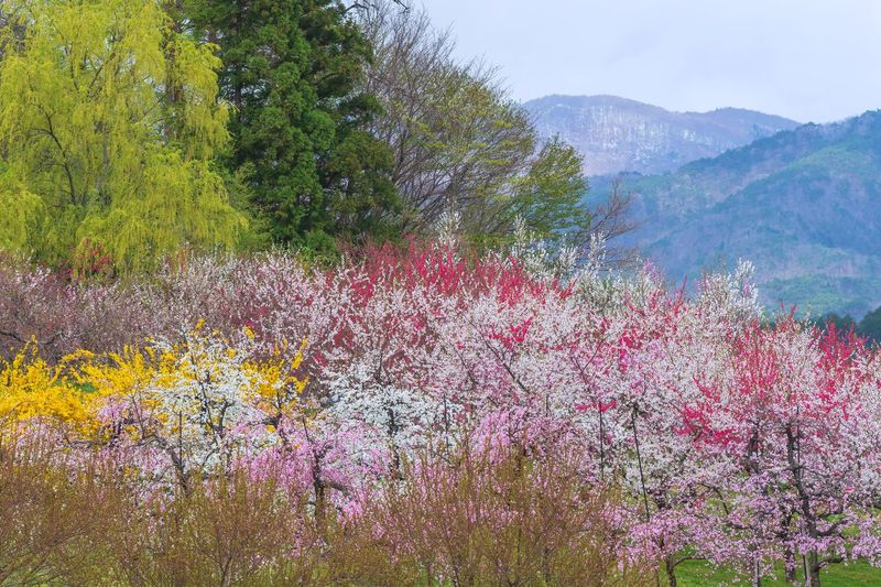 Scenic view of pink flowering tree and mountains
