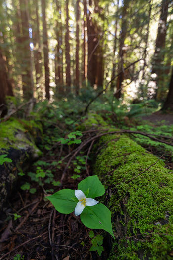 Trillium bloom in a northern California forest. Plant Growth Forest Land Beauty In Nature Tree Nature Green Color Day Tranquility Leaf Plant Part Focus On Foreground No People WoodLand Flower Flowering Plant Tree Trunk Outdoors Freshness Trillium