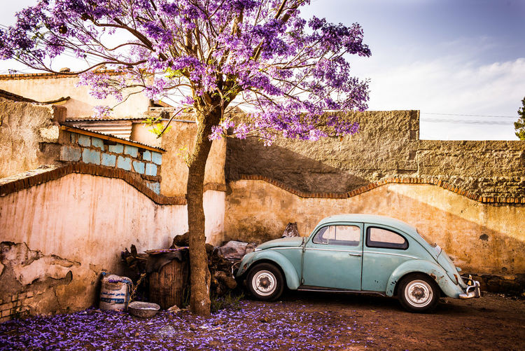 Tree Car Motor Vehicle Abandoned Flowering Plant Obsolete Beautiful Colorful Moody Nature Jacaranda The Week on EyeEm Forgotten Places  Tranquility Beetle VW Beetle Violet