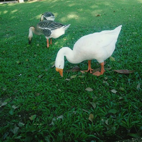 Goose Animal Green Thailand
