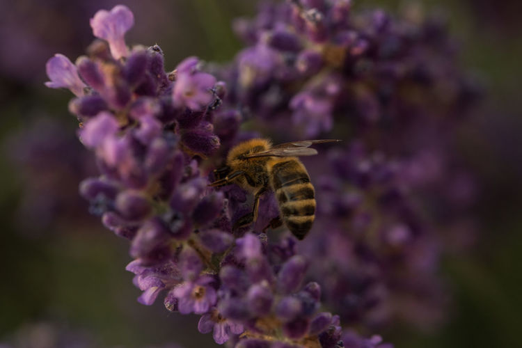 Flowering Plant Flower One Animal Animal Themes Insect Bee Fragility Growth Beauty In Nature Vulnerability  Freshness Purple Petal Lavender Animal Pollination Busy Bee Honey Flower Head Plant