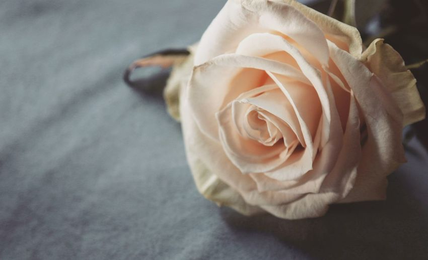 White Rose Flower Collection Close-up EyeEm Best Shots EyeEm Nature Lover Nature Freshness Open Edit Flower Flower Head Close-up Blooming Rose - Flower Single Rose