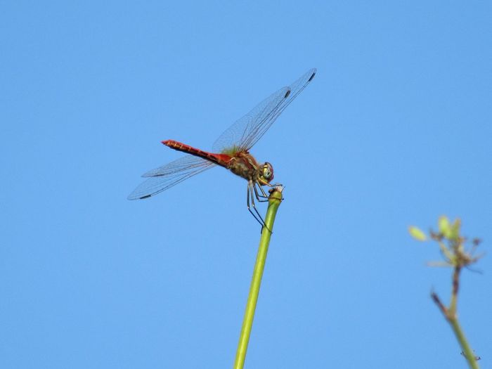Low angle view of dragonfly on plant against clear blue sky