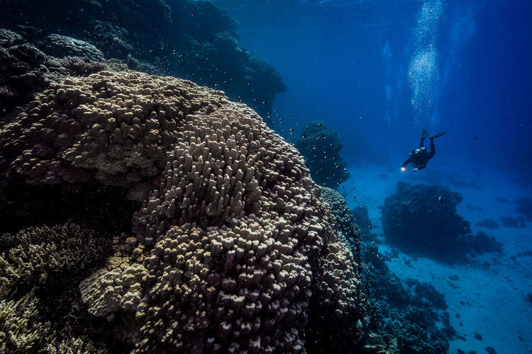 Scuba diver swimming by corals in red sea