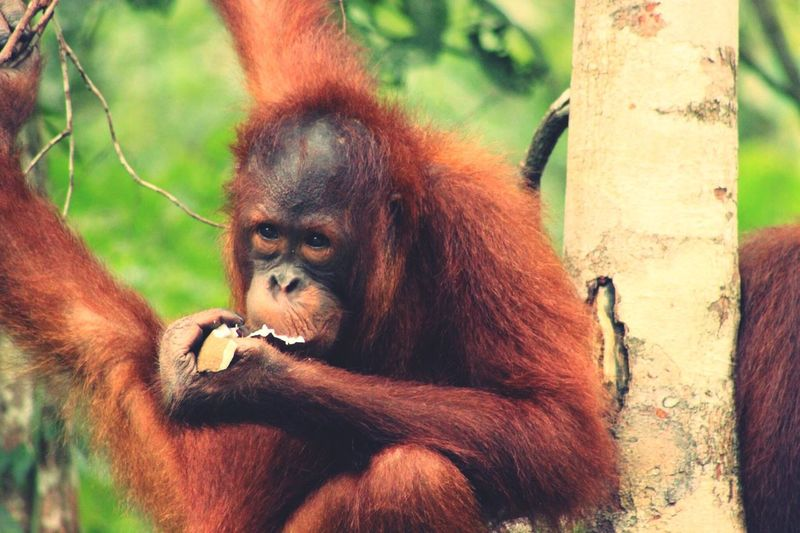 Orang-Utan Borneo Travel Photography Affe Monkey Orang-Utan Borneo Malaysia Worldtravelpics Worldtravelpic