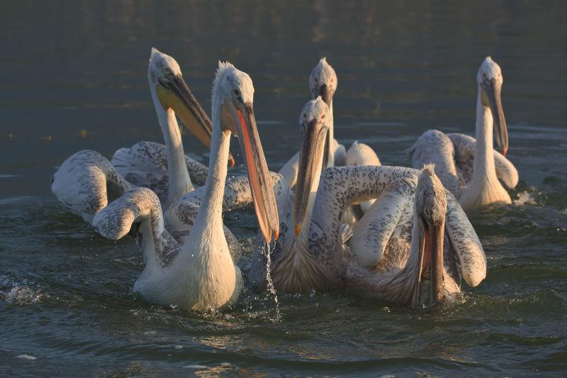 Dalmatian Pelicans Swimming In Lake