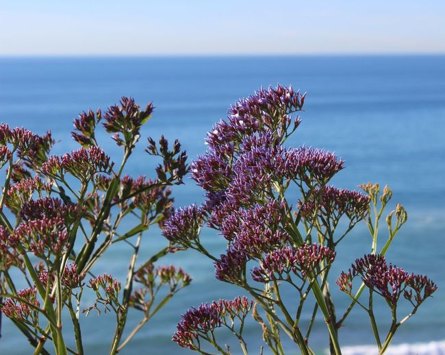 Ocean wildflowers Nature's Gar Ocean Backdro Ocean View Ocean Wildflower Purple Ocean Wildflower Purple Wildflowers Seaside Flower Status By The Sea