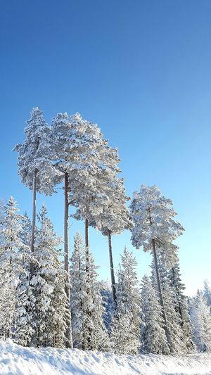 wintertrees Sun