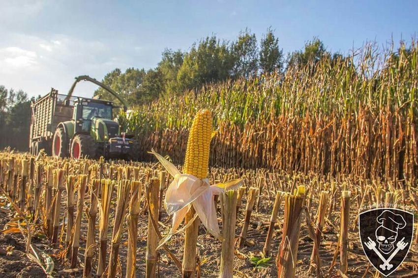 Herbst Mais Maize Canon 6D Erntezeit Silage Biogas JAGUAR Claas