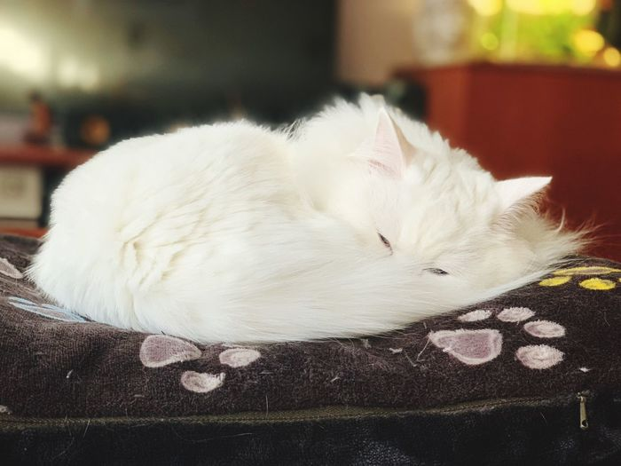 Animal Animal Themes One Animal Close-up Vertebrate White Color No People Pets Focus On Foreground Animal Wildlife Domestic Animals Indoors  Cat Sleeping Mammal Relaxation