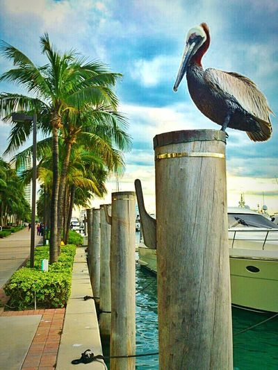 Walking Promenade Chilling Out Pelican Palm Trees South Point Dock Miami Beach
