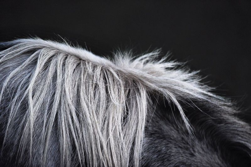 Cropped image of horse hair against black background
