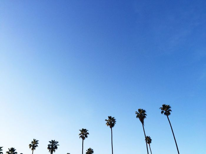 Beauty In Nature Blue Clear Sky Copy Space Growth High Section Los Angeles, California Low Angle View Nature No People Outdoors Palm Tree Palm Tree Palm Trees Scenics Silhouette Sky Tall - High Tranquil Scene Tranquility Tree Tree Trunk Treetop
