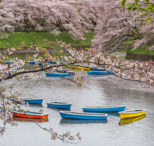 Rowboats and cherry blossom at a lake in Chidorigafuchi, a popular sakura viewing spot in Tokyo, Japan Attraction Bloom Blossom Boats Cherry Chidorigafuchi Chiyoda Destination Floral Flower Japan Lake Leisure Nature Park Rental Row Boat Sakura Season  Tokyo Tourism Travel Tree