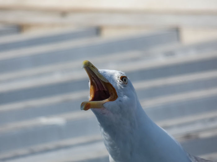 Animal Animal Body Part Animal Eye Animal Head  Animal Themes Animal Wildlife Animals In The Wild Beak Bird Close-up Day Focus On Foreground Mouth Mouth Open Nature No People One Animal Outdoors Portrait Seagull Vertebrate White Color The Great Outdoors - 2018 EyeEm Awards EyeEmNewHere