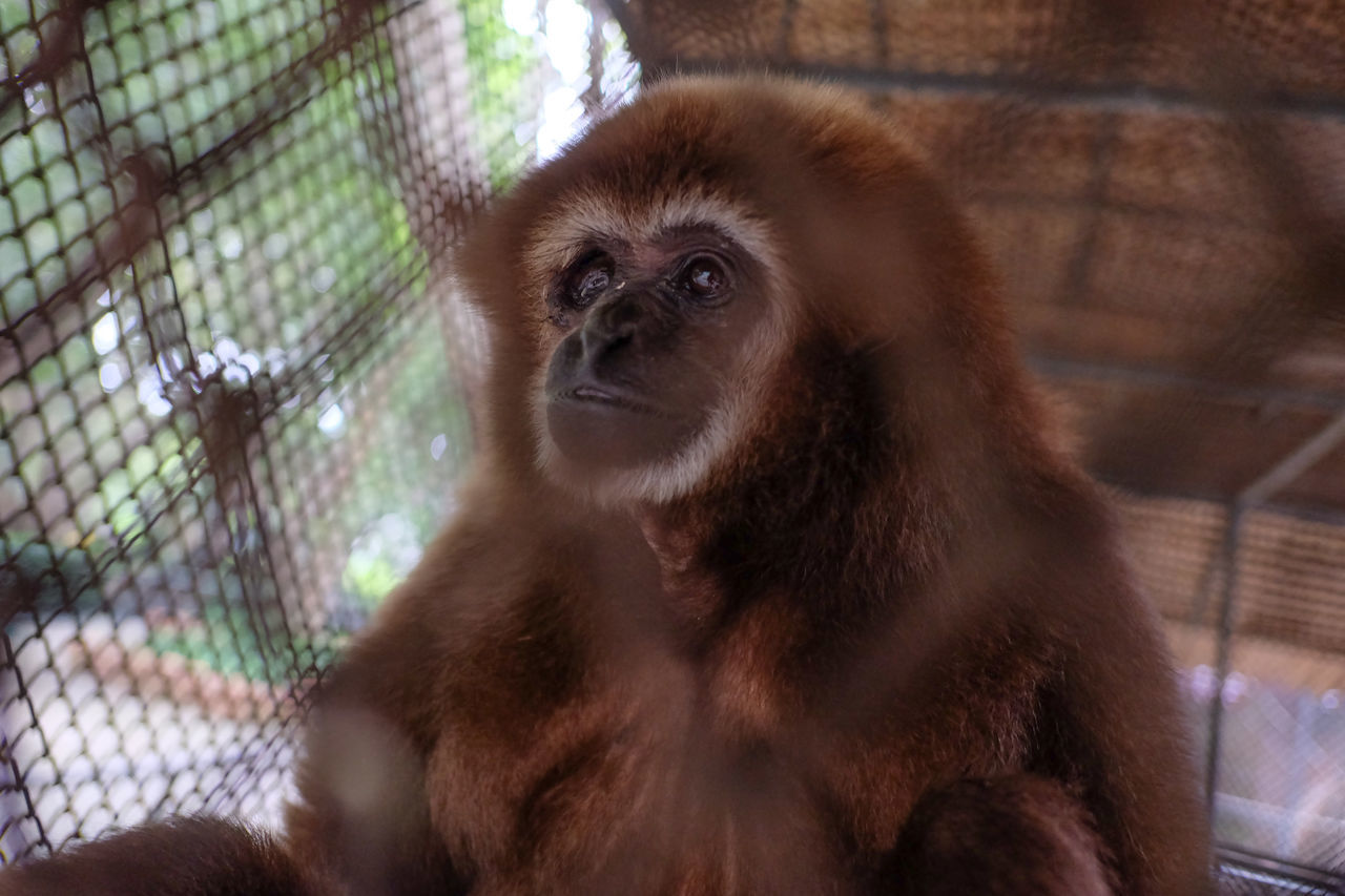 one animal, monkey, primate, animal wildlife, cage, animals in captivity, mammal, animal themes, orangutan, zoo, animals in the wild, ape, nature, no people, day, sitting, close-up, outdoors, prison