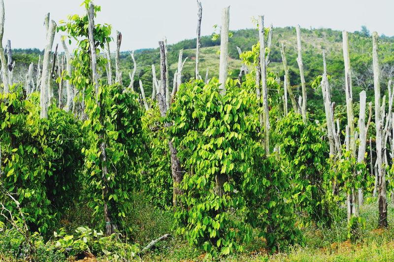 Peppers Garden EyeEm Nature Lover Spice Garden TheKingofSpice Pepper Pepper - Vegetable Peppers Spraying Tree Rural Scene Summer Leaf Sky Close-up Plant Green Color Plant Life Bell Pepper