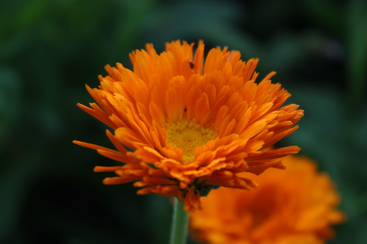 flower, beauty in nature, fragility, nature, petal, freshness, orange color, growth, flower head, plant, close-up, no people, outdoors, blooming, focus on foreground, day