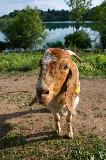 Animal Themes Domestic Animals EyeEm Nature Lover Goat Hello Nature No People One Animal Outdoors Standing Totenmaar Weinfelder Maar