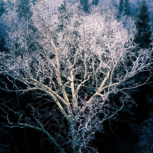 Frozen tree Tree Frozen Freeze Cold Winter Blue Forest Woods Wood Creepy Mystery Nature Aerial View Aerial Snow Icicle Frost Season  Covering Deep Snow Snowfall Cold Temperature Weather Condition Snow Covered Ice Crystal Branch Tree Trunk Bark